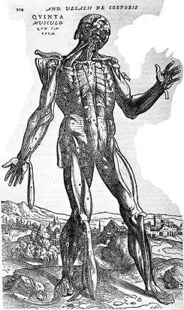 Fifth_muscle_man,_by_Vesalius._Wellcome_L0001648